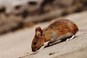 Mice Exterminator, Pest Control in Romford, Rise Park, RM1. Call Now 020 8166 9746